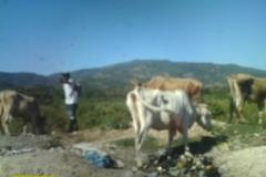 CowsofCabello